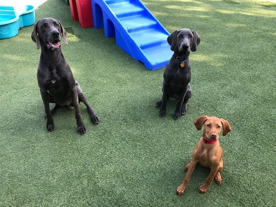 image of 3 dogs sitting on turf field